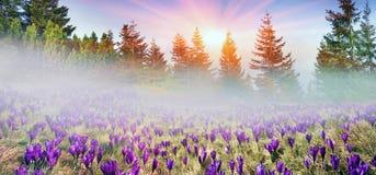Croco solari del fiore Fotografia Stock Libera da Diritti