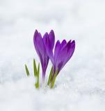 Croco viola della molla Fotografie Stock