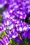 Croco viola della sorgente - verticale Immagini Stock