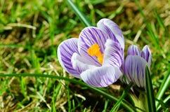 Croco viola e bianco fotografia stock libera da diritti