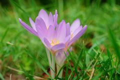Croco viola in erba sul prato - primo piano fotografie stock