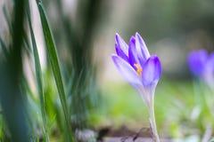 Croco viola fresco della primavera, Lussemburgo Immagini Stock