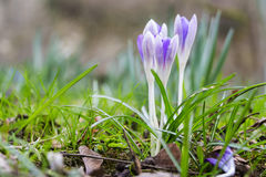 Croco viola fresco della primavera, Lussemburgo Immagine Stock