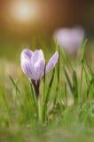 croco Zafferano in primavera Immagini Stock Libere da Diritti