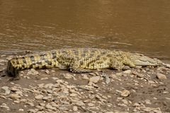 Crocodile near the Mara River Royalty Free Stock Photography