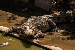 A crocodiles in a farm,Thailand. Crocodie is feeding , Alligator feeding in zoo stock photos
