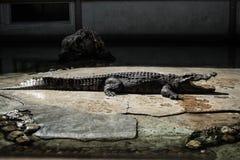 A crocodiles in a farm,Thailand. Crocodie is feeding , Alligator feeding in zoo stock image