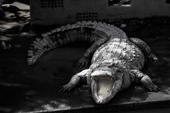 A crocodiles in a farm,Thailand. Crocodie is feeding , Alligator feeding in zoo stock photo