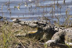 Crocodil Stock Photography