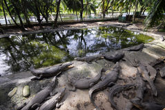 Crocodil gospodarstwo rolne Obrazy Royalty Free