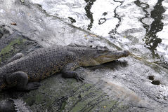 Crocodil gospodarstwo rolne Zdjęcia Royalty Free