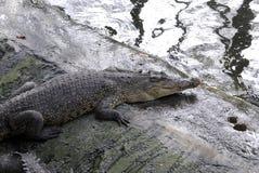 Crocodil lantgård Royaltyfria Foton