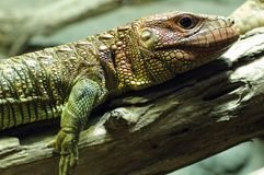 Crocodil-teju Stock Photography