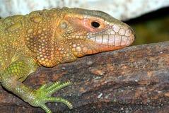 Crocodil-Teju (guianensis del Dracaena) Foto de archivo libre de regalías