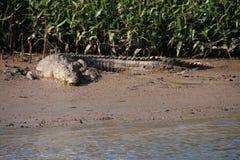 Crocodile à la rive images libres de droits
