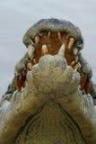 Crocodile& x27 κεφάλι του s Στοκ Φωτογραφίες