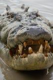 Crocodile& x27 κεφάλι του s Στοκ εικόνα με δικαίωμα ελεύθερης χρήσης