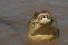 Crocodile& x27 κεφάλι του s Στοκ φωτογραφία με δικαίωμα ελεύθερης χρήσης