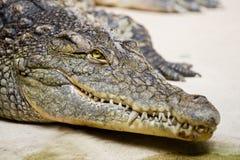 Crocodile. Close portrait of crocodile face Royalty Free Stock Photo