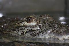 Crocodile. Eye of crocodile sitting in water Royalty Free Stock Images