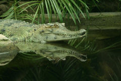 The Crocodile. Crocodile laying in the water, with reflection stock image