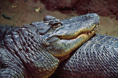 Crocodile. A crocodile lying on another one and relaxing stock images