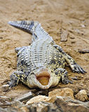 Crocodile images stock