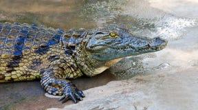 Crocodile. Resting, nice skin texture, Botswana, Crocodylidae Royalty Free Stock Images