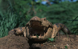 Crocodile. A big female crocodile defending her nest Stock Images