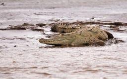 The Crocodile Royalty Free Stock Photography
