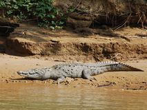 Crocodile. In Sumidero Canyon, southern Mexico Royalty Free Stock Image