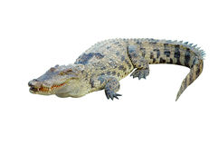 Free Crocodile Royalty Free Stock Photos - 14443958