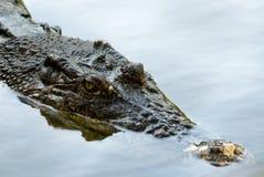 Crocodile. A crocodile in the zoo Stock Images