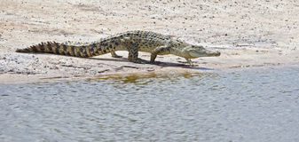 Crocodile. An image of a salt water crocodile in Australia Royalty Free Stock Photo
