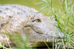 Crocodile Royalty Free Stock Image