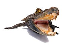 Crocodile. On a white background Stock Images