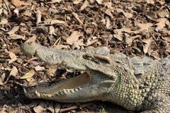 Crocodile. Portrait of  crocodile resting with mouth open Stock Photo