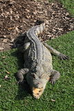 Crocodile. Resting with mouth open Stock Photos