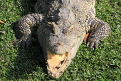 Crocodile. Portrait of  crocodile resting with mouth open Royalty Free Stock Images
