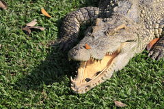 Crocodile. Portrait of  crocodile resting with mouth open Royalty Free Stock Image