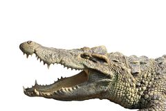 Crocodile. Portrait of  crocodile resting with mouth open Stock Photography