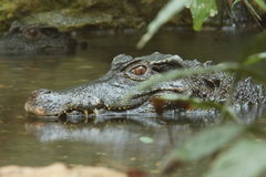 Crocodile, Images stock