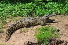 Crocodile. A fresh water crocodile on land royalty free stock images
