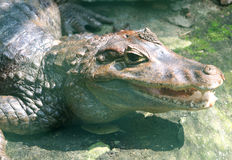 Crocodile. A crocodile resting on the ground Stock Photography