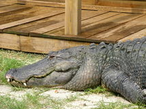 Crocodile. An old crododile lying on the grass Royalty Free Stock Photo
