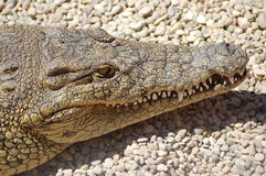 Crocodile. A leathery crocodile basking in the sun Royalty Free Stock Images