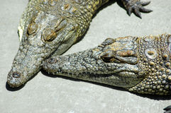 Crocodile. Two beautiful crocodiles resting in a game park in South Africa Stock Image