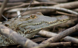 Crocodile. Close Up of a Crocodile in Belize royalty free stock photo