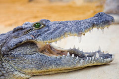Crocodile. Head of a crocodile with the mouth open Stock Image