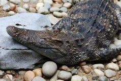 Crocodile. A Crocodile sleep in the zoo Royalty Free Stock Photo
